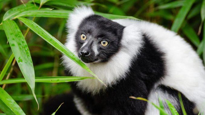 lemurien-de-madagascar